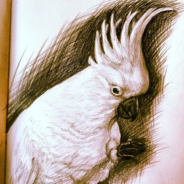 Stacey Kurtz Art For Mural In Boys: Cockatoo Pencil Sketch
