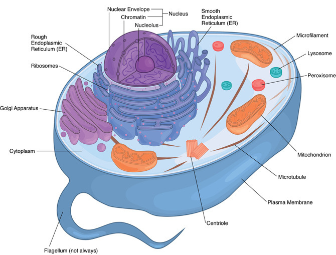 Textbook illustrations kei suehiro illustration animal cell for textbook ccuart Image collections